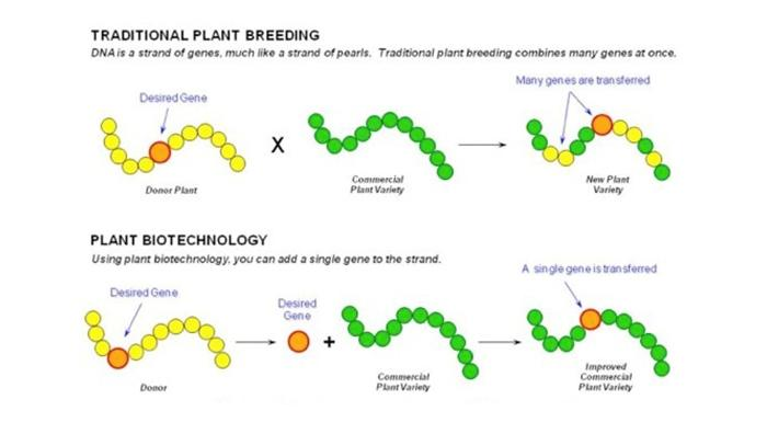 Genetic engineering diagram wiring diagrams genetic engineering gmos what you rarely hear nutraceuticals world genetic engineering diagram and explanation genetic ccuart Gallery